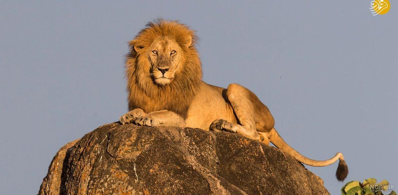 عکس شیر شاه