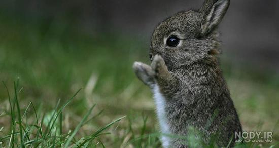 عکس خرگوش جنگلی