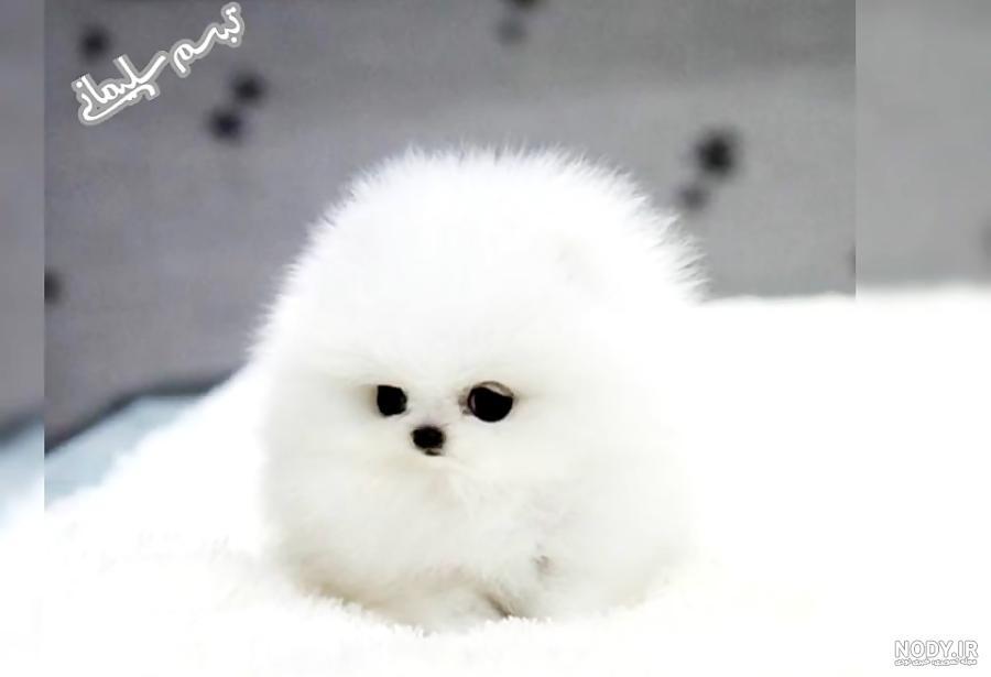 عکس زیبا ترین سگ دنیا