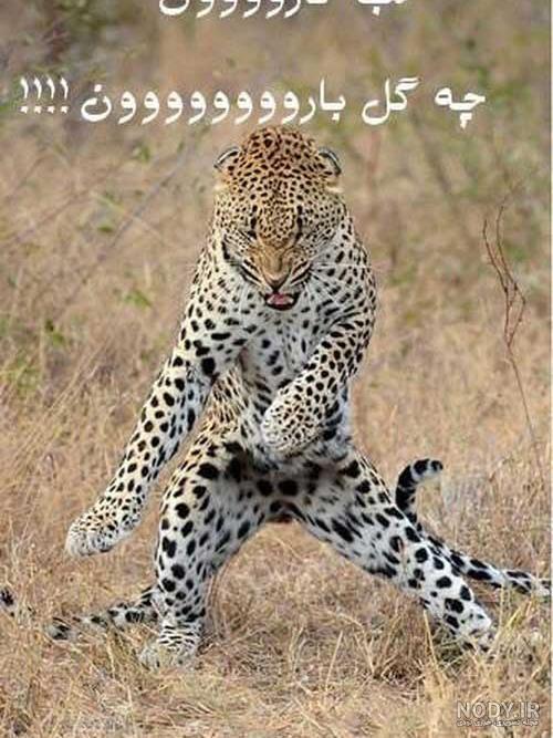 عکس طنز یوز پلنگ