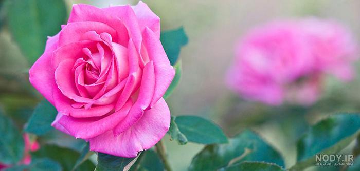 عکس گل در طبیعت