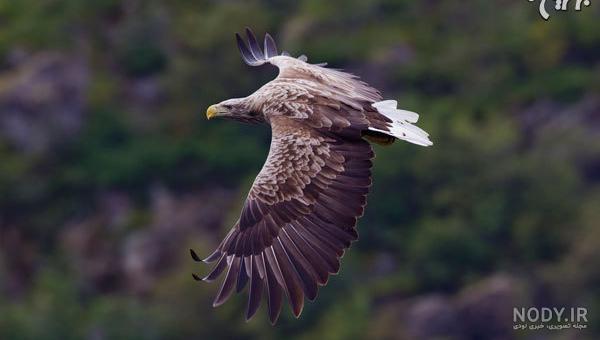 انواع عقاب های شکاری