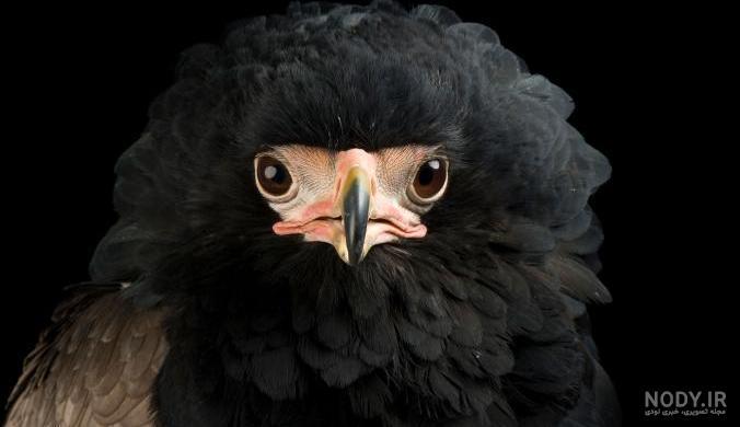 عکس عقاب با متن