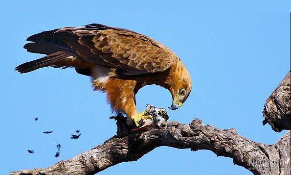 عکس عقاب برای تصویر زمینه گوشی