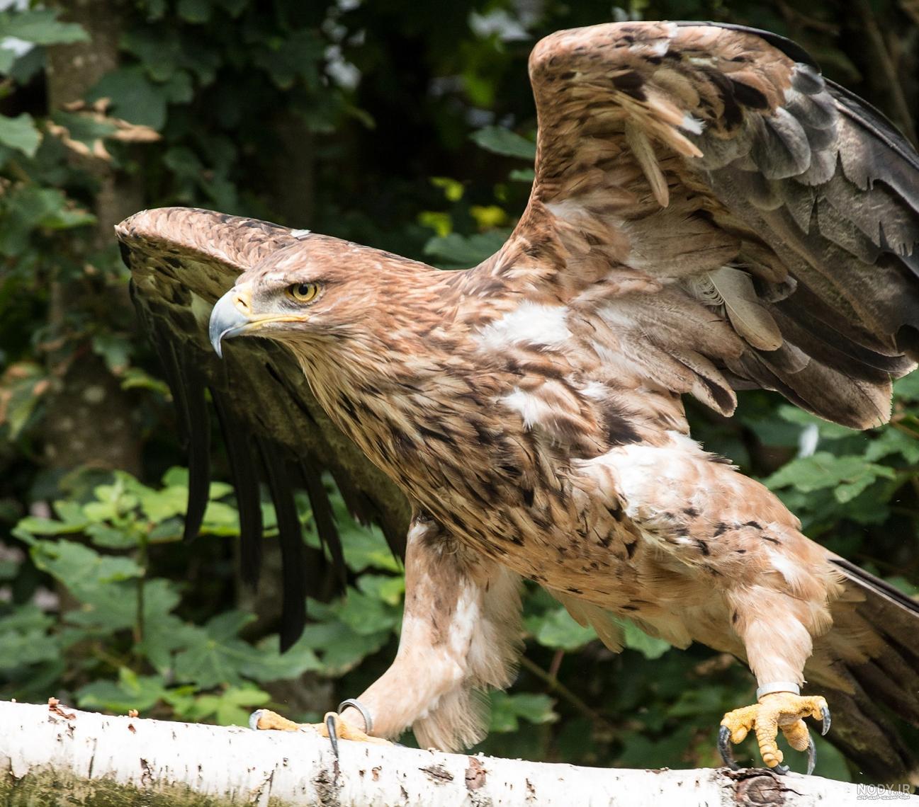 عکس عقاب برای تصویر زمینه