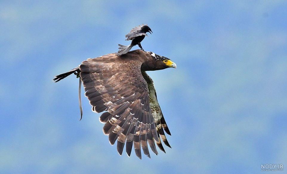 عکس عقاب خنده دار