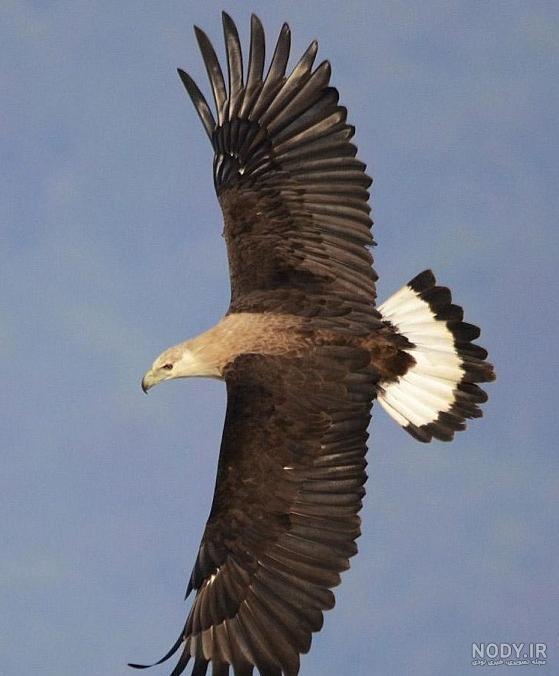 عکس عقاب سیاه