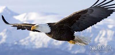 عکس عقاب وحشی برای پروفایل