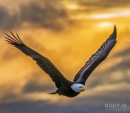 غول پيكر بزرگترین عقاب دنیا