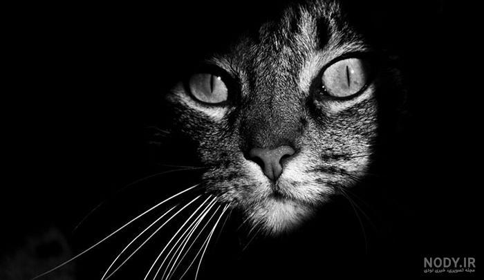 عکس مشکی گربه