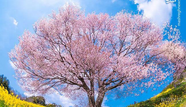 عکس بهاری درختان