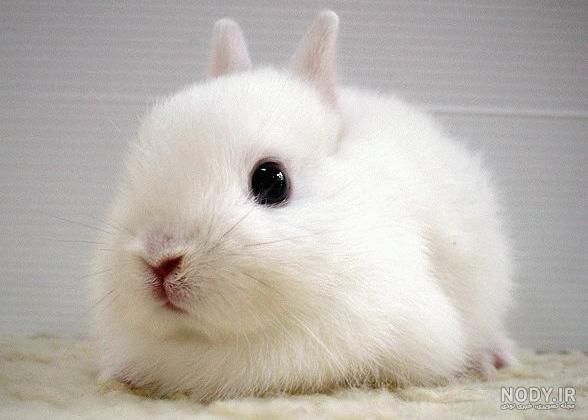 عکس خرگوش مینیاتوری سفید