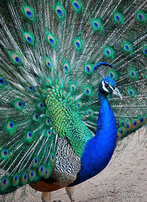 عکس طاووس واقعی