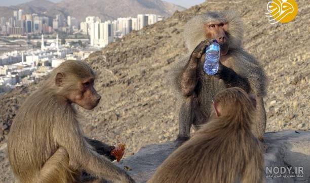 عکس میمون های غار حرا