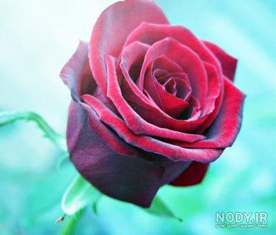 عکس گل رز جدید