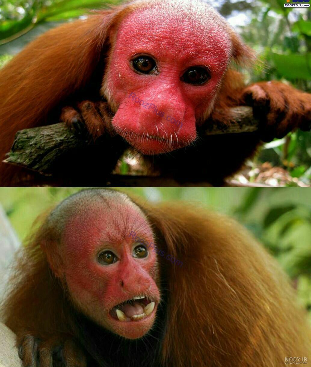 عکس میمون های ترسناک
