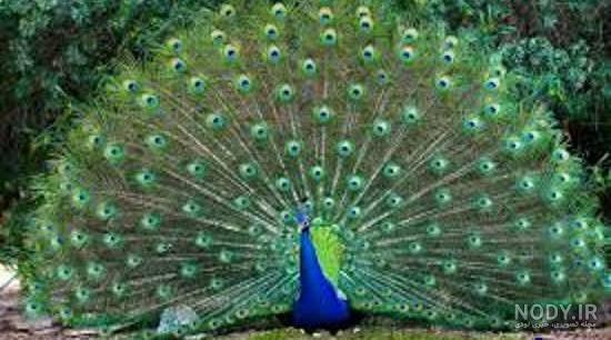 عکس از طاووس زیبا