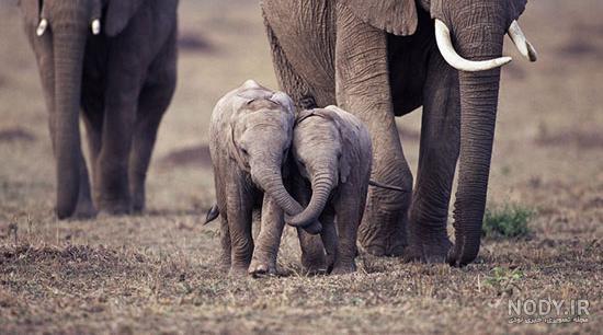 عکس بچه ی فیل