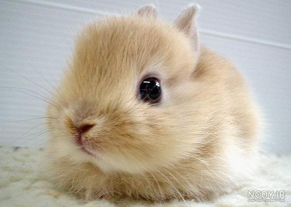 عکس خرگوش ناناز