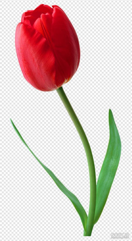 تصاویر گل لاله شهدا