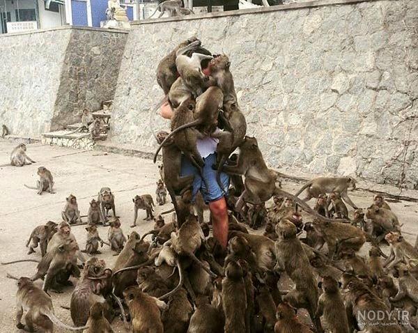 عکس حمله میمون ها