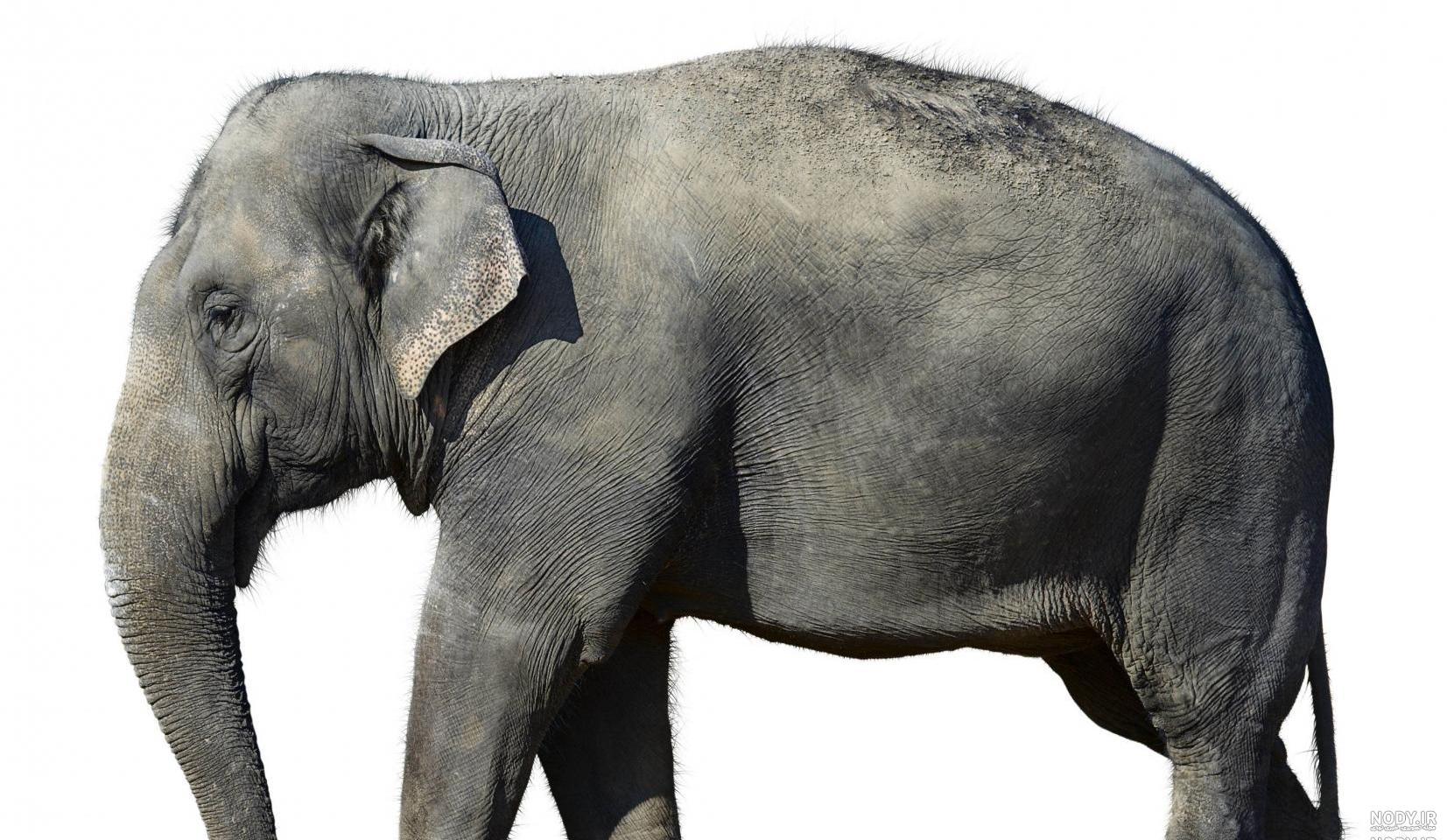عکس فیل از نیم رخ