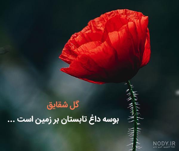 عکس گل شقایق با نوشته