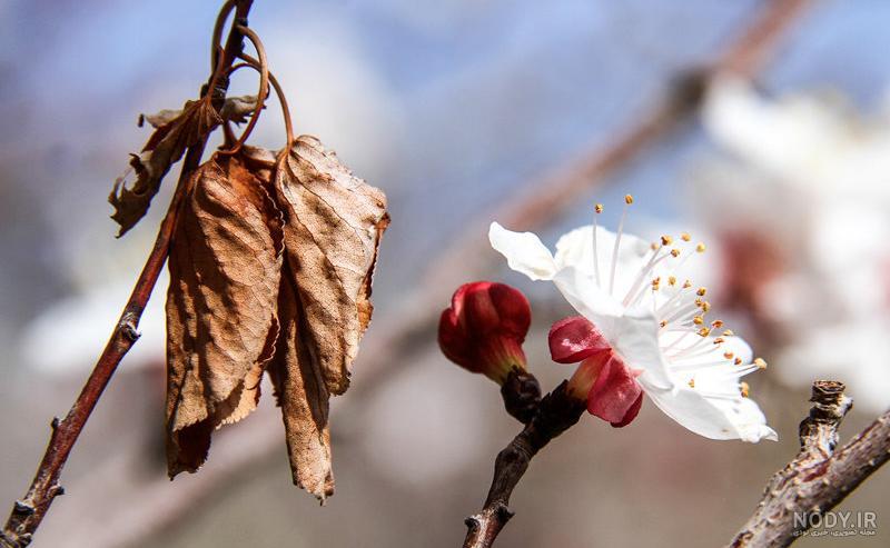 عکس شکوفه پاییز