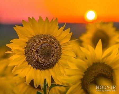 عکس گلهای آفتابگردان زیبا