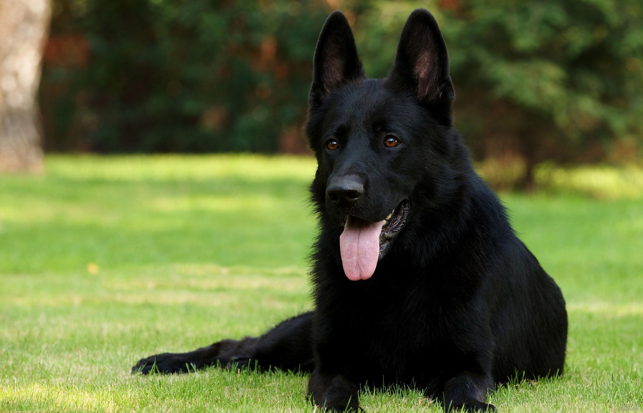 عکس سگ های ژرمن شپرد سیاه