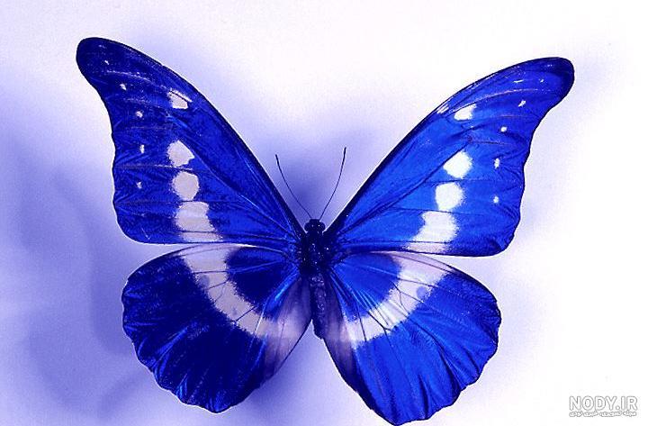 عکس پروانه آبی