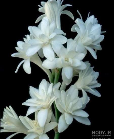 عکس گل مریم برای تسلیت