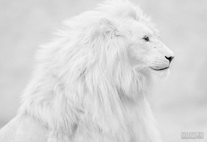 عکس شیر سفید و سیاه