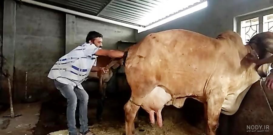 عکس بچه گاو یک روزه